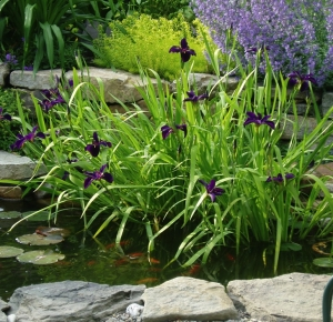Iris in Pond Sterling