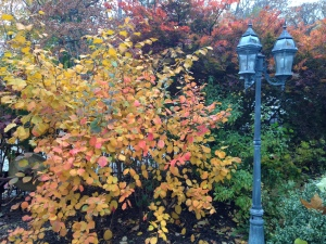 fall color - fothergilla & jap maple