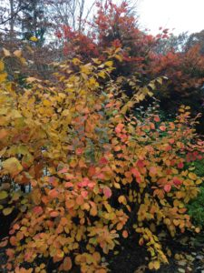 Fall color - fothergilla